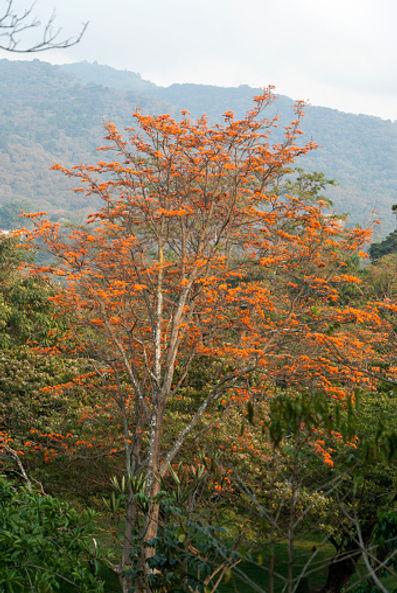 Erythrine orange.jpg
