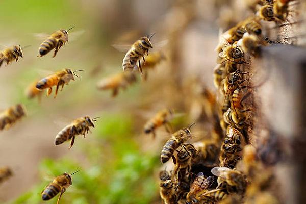 abeille 3.jpg
