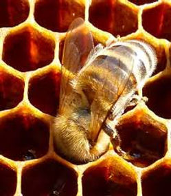 abeille dans alvéole.jpg