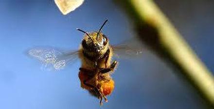 abeille pukeko.jpg
