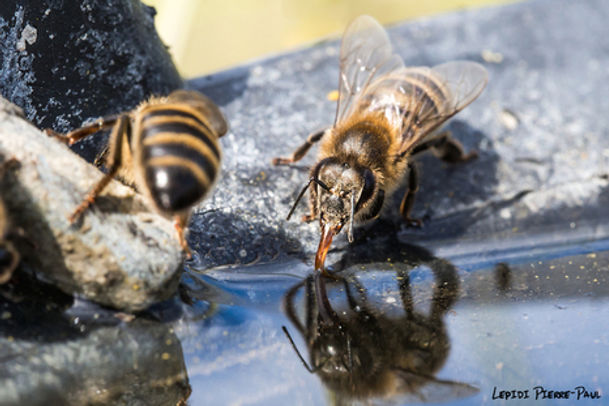 abeille 1.jpg