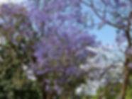 thumb-le-jacaranda---un-arbre-haut-en-co
