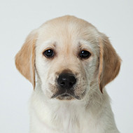 Sponsor a puppy for the Guide Dogs