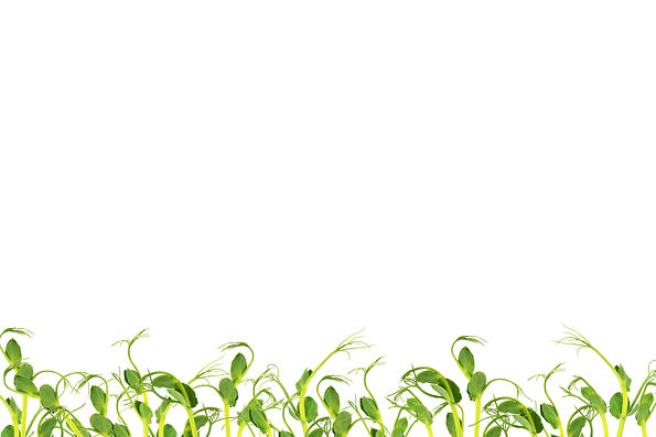 Microgreens. Sprouted peas on a white ba