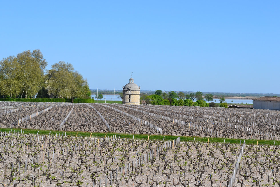 Chateau Latour vineyards.jpg