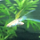 Albino Emerald Swordtail Guppies For Sale