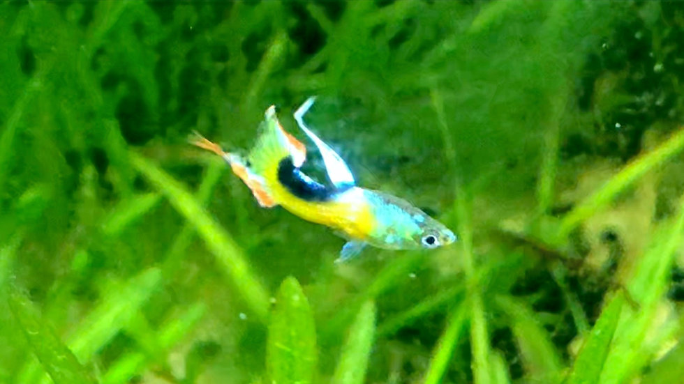buy rare guppies for sale