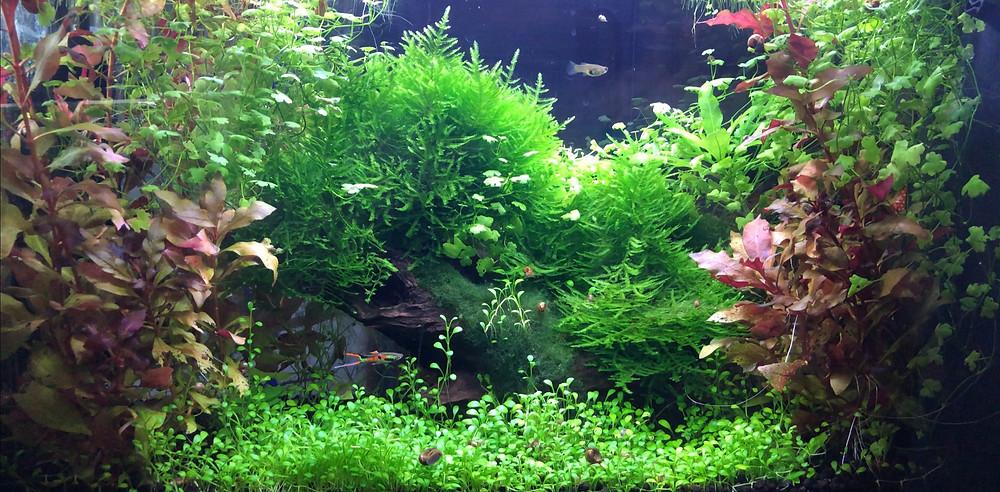 Fluval evo planted guppy aquarium