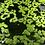 duckweed for sale