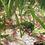 Cherry Shrimp For Sale (Neocaridina Davidi)