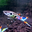 Staeck Endlers Livebearers For Sale
