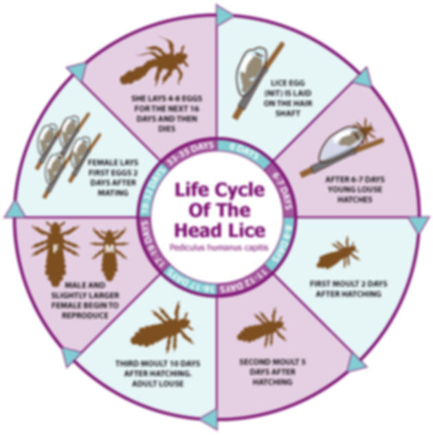 life cycle of head lice.png