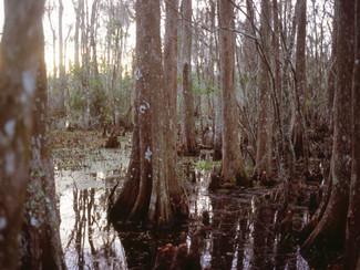 Cyprus swamp tree