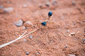 Big Ants, Uluru, Australia, 2018.