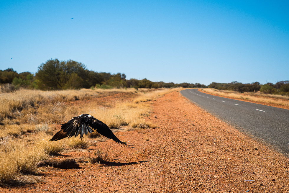 Décollage d'un aigle du désert, Australie, 2018.