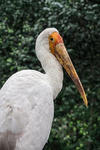 Yellow-billed stork, Kuala Lumpur, Malaysia, 2020.