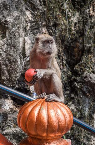 Monkey at batu caves, Kuala lumpur, Malaysia, 2020.