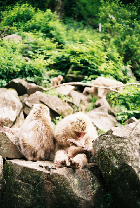 Macaques of Jigokudani, Japan, 2019.