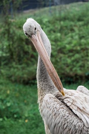 Pelican, Kuala Lumpur, Malaysia, 2020.