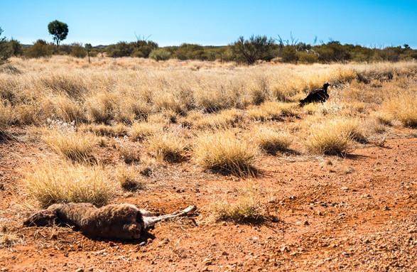 Moutons morts, Australie, 2018.