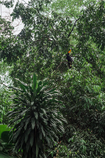 Rhinoceros Hornbill, Kuala Lumpur, Malaysia, 2020.
