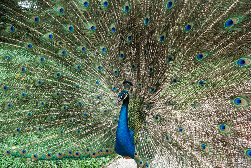 Peacock, Kuala Lumpur, Malaysia, 2020.