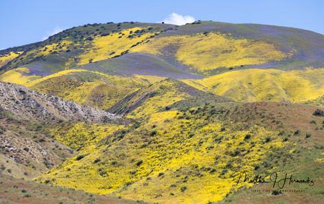 Carizzo Plain Super Bloom Yellow
