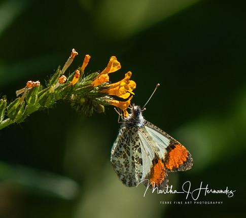 Desert Orangetip Butterfly