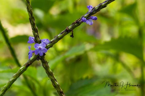Spanish Point Purple Flower