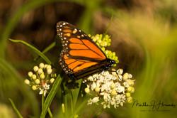 San Joaquin Preserve Butterfly