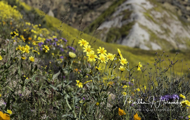 Carizzo Plain Hillside Bloom