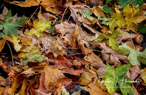 Yosemite Autumn Leaves