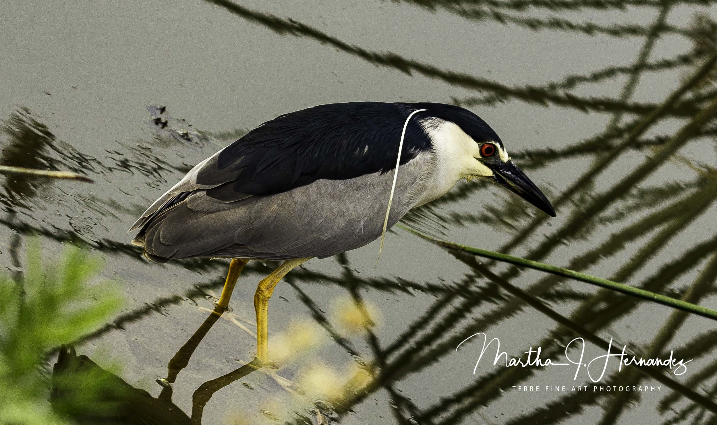 Blk Crown Night Heron