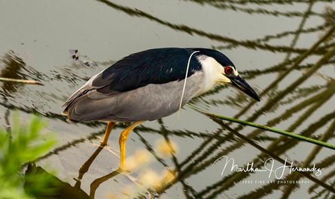 Blk Crown Night Heron