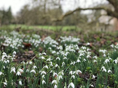 white snowdrop plants