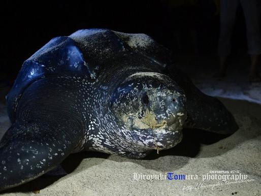 インドネシア・オサガメの産卵