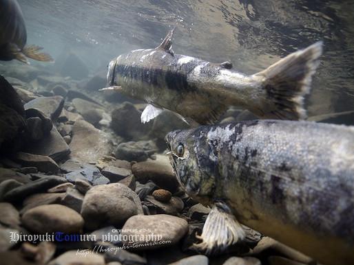 女川でサケの遡上を撮影する