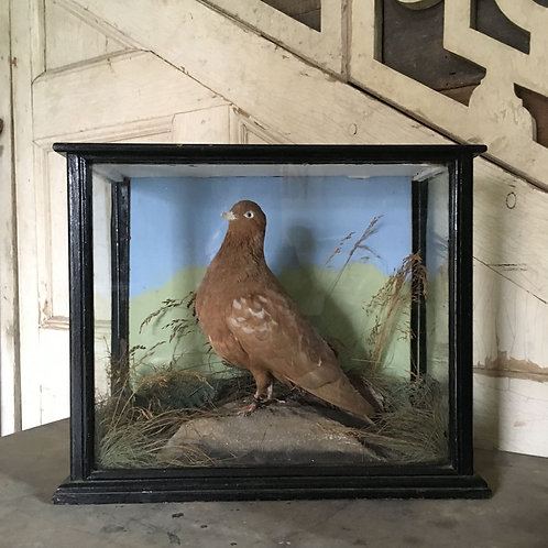 NOW SOLD - Taxidermy 'tumbler' pigeon
