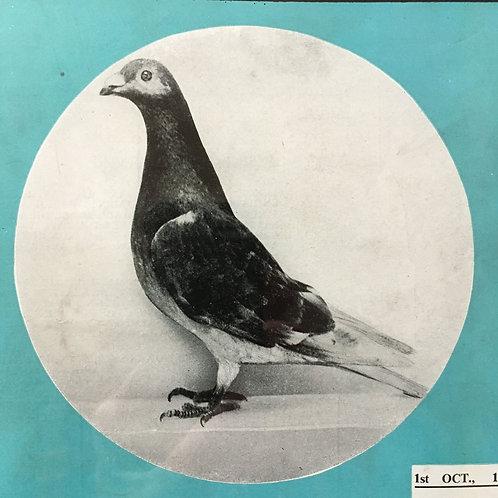NOW SOLD - Vintage racing pigeon print - No. 49 'Golden Dawn'
