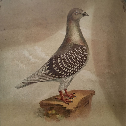 NOW SOLD - Antique racing pigeon prints - pair