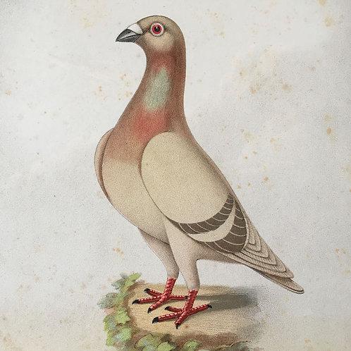 NOW SOLD - Victorian racing pigeon print (No.12) - 1896