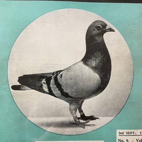 NOW SOLD - Vintage racing pigeon print - No. 70 'Macushala'