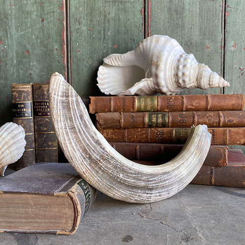 SOLD - Antique taxidermy hippo tusk