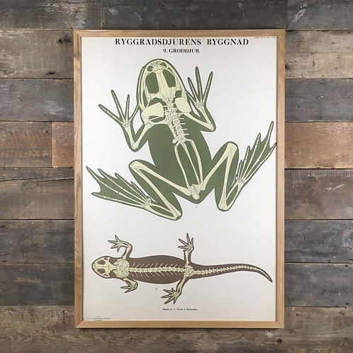 NOW SOLD - Swedish anatomical chart - frog