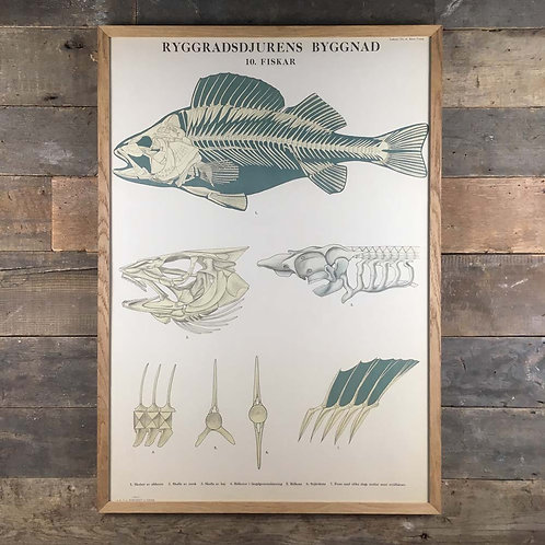 NOW SOLD - Swedish anatomical chart - fish