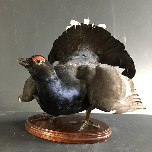 NOW SOLD - Taxidermy black grouse