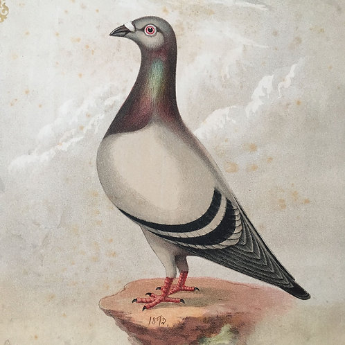 NOW SOLD - Victorian racing pigeon print (No.4) - 1892