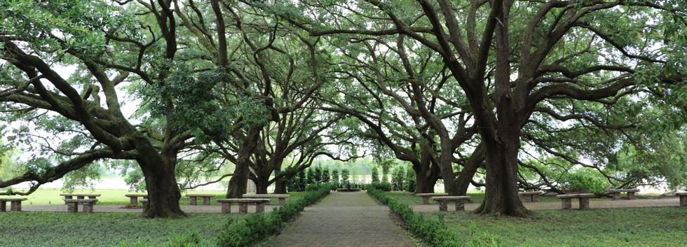 View of Live Oak Trees