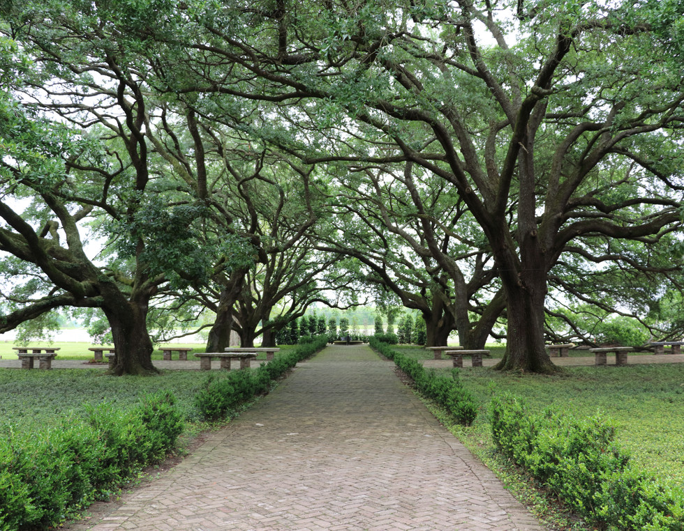 View of Live Oak Trees