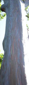 Rainbow Gum - Hawaii